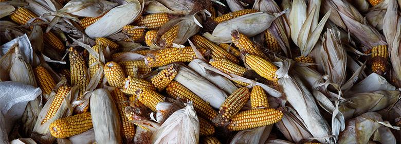 Corn-780